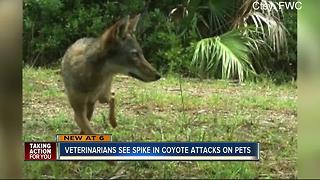 Coyote sightings, attacks rising amid drought and wildfires - Video