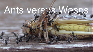 Ants fight with wasps over deceased grasshopper