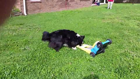 Funny Dog Loves To Mow The Lawn