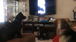 Doggy Siblings Watch Themselves On TV - Video