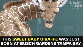 Baby giraffe born at Busch Gardens Tampa Bay | Taste and See Tampa Bay - Video