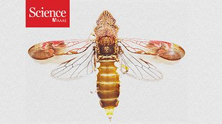 Sharpshooter insect pees faster than a cheetah accelerates