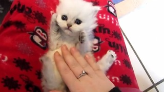 Precious kitten enjoying belly tickle - Video