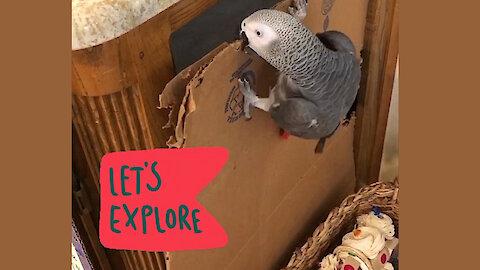 Determined talking parrot has a bad case of wanderlust
