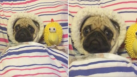 Pug In Blanket! Adorable Footage Shows Wrapped Up Pug Shivering – Despite Duvet And Pyjamas