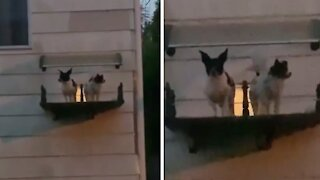 These puppies literally have their very own balcony