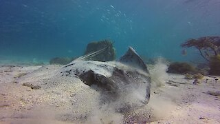 Scuba diver has extremely close look at large stingray