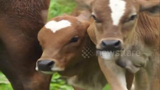 Calf born with heart shape on its head - Video