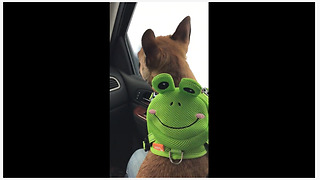 French Bulldog wears frog backpack to the car wash - Video