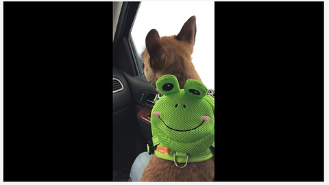 French Bulldog wears frog backpack to the car wash