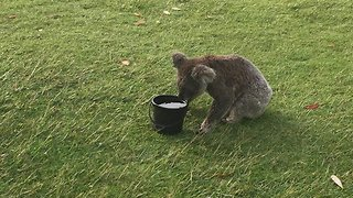 Thirsty Koala Stops For a Drink on Hot Port Macquarie Day - Video
