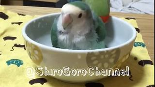 Parrots take bath in adorable little bowl - Video