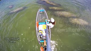 Canoeist surrounded by group of manatees - Video