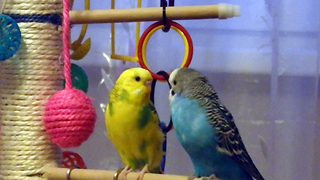 Two Australian parrot preening and kissing - Video