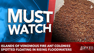Islands of venomous fire ant colonies spotted floating in rising floodwaters - Video