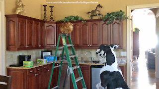 Funny Great Dane Wants To Go Up Like Ladder Loving Decorator Cat