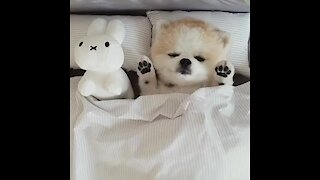 Pomeranian's bedtime routine will simply melt your heart!