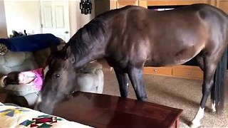 Friendly Horse Comes Inside The House To Chill With Owner