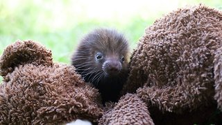Orphaned Hairless Porcupines Receive Teddy Bear To Replace Their Mums