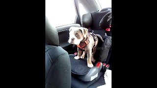 12-week-old bulldog can't fit in her old booster seat