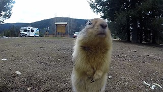 Gopher inspects hidden camera, receives tasty carrot - Video