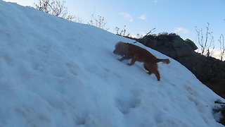 Snow-loving dog repeatedly slides down slope - Video