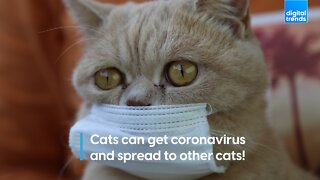 Cats can get coronavirus and spread to other cats!