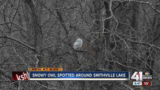 Rare snowy owl spotted at Smithville Lake - Video