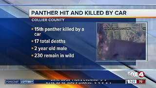 Panther hit and killed by car - Video