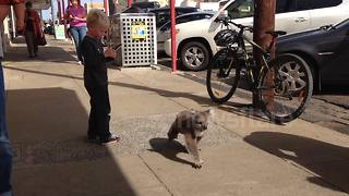 Cute koala strolls down a sidewalk in Australia - Video