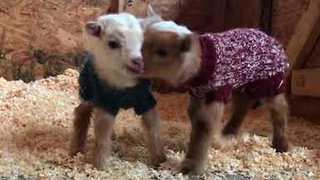 Cute Baby Goats Flaunt Their Knitted Sweaters On A Farm - Video