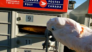 Moluccan cockatoo loves getting mail