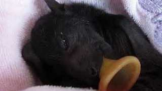 Baby Bat Born at Rescue Shelter After Mother Was Hit by Car