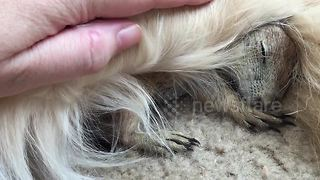 Super cute baby prairie dog cuddling up with golden retriever - Video