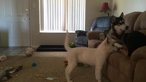 Huskies completely intrigued by balloon sounds