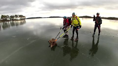 Wild Boar heroically saved from slippery frozen lake