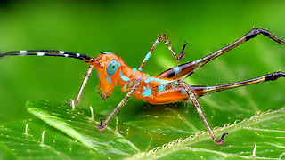 Colorful Ecuadorian grasshopper in Amazon rainforest