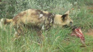 Rescued Wild Dog having lunch