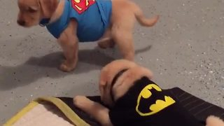 Batman v Superman: Puppy Halloween edition - Video