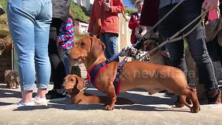 Sausage dog 'world record' for most dachshunds on a beach - Video