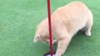Cat helps golf ball into hole