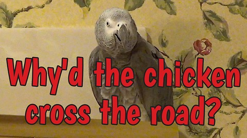 Parrot knows why the chicken crossed the road