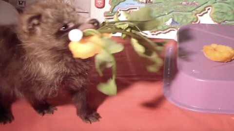 Raccoon Dog Puppies and Apricot - The Cutest Video Ever!!!
