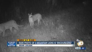 Mountain lions captured on camera - Video