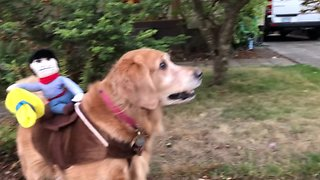 Golden Retriever models her rodeo Halloween costume