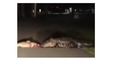 Gator Drags Dead Fish Across South Carolina Road