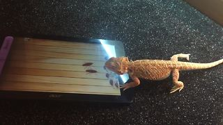 Bearded Dragon successfully plays game on tablet - Video