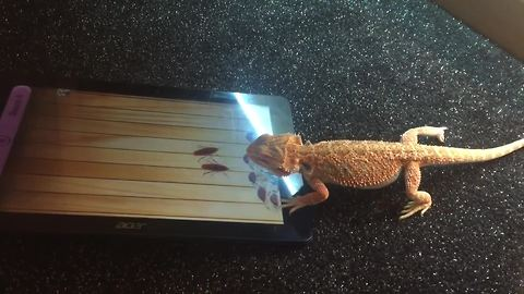 Bearded Dragon successfully plays game on tablet
