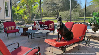 Great Danes Love Sitting Like The Peoples Do In the Florida Sunshine