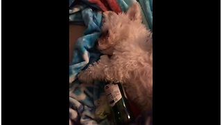 Passed out puppy cuddles beer bottle from night before